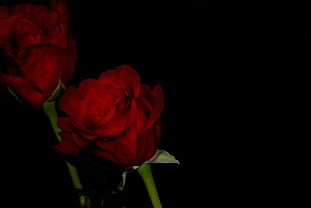 Black background roses my attempt at 39 black background - Black and red rose wallpaper ...