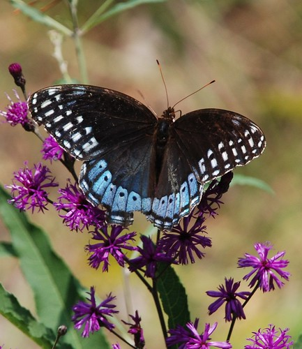 227e  Diana Fritillary--female | by jjjj56cp