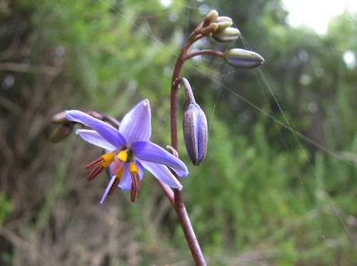 Black-anther Flax Lily  (Dianella revoluta) | by barbara robeson