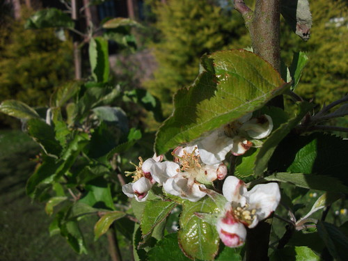 [TREE YEAR] Apple blossom | by rogandclaire
