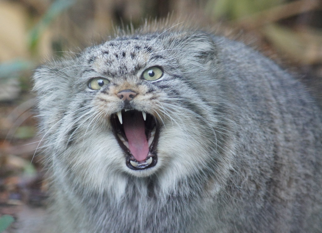 Hpallas Cat For Sale