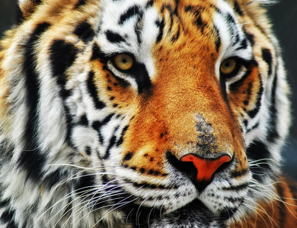 Majestic Tiger   A close up of one of the many tigers that h…   Flickr