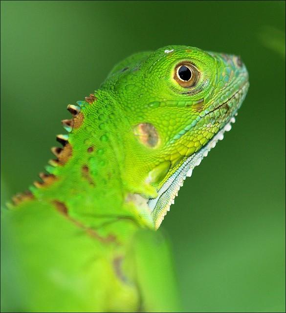 Baby Green Iguana, Iguana Iguana | Flickr - Photo Sharing! - photo#11