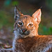 The cute young lynx