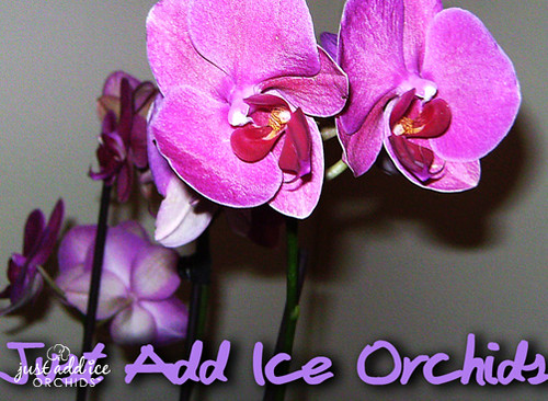 submitted by meagan r just add ice orchids flickr. Black Bedroom Furniture Sets. Home Design Ideas