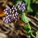 Eupatorium coelestinium, Mistflower