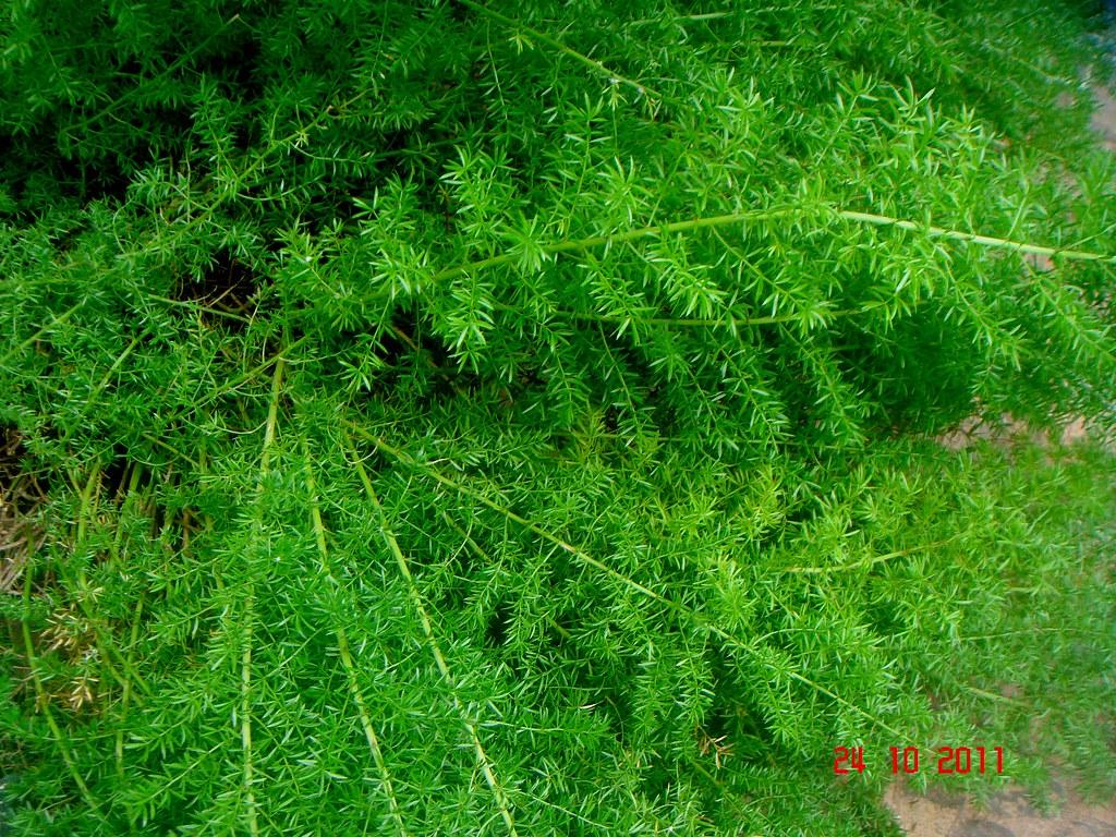asparagus densiflorus  kunth  jessop