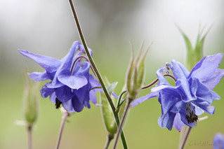 Columbines | by *christine**