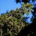 Juniperus virginiana, Red Cedar