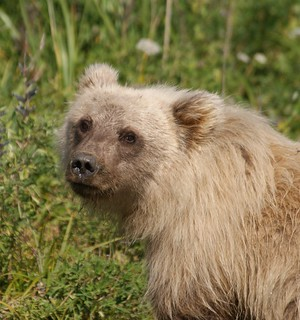 Grizzly 4yr Old female  Silver Salmon Creek_2009 08 11_0975 | by Grinning Soul