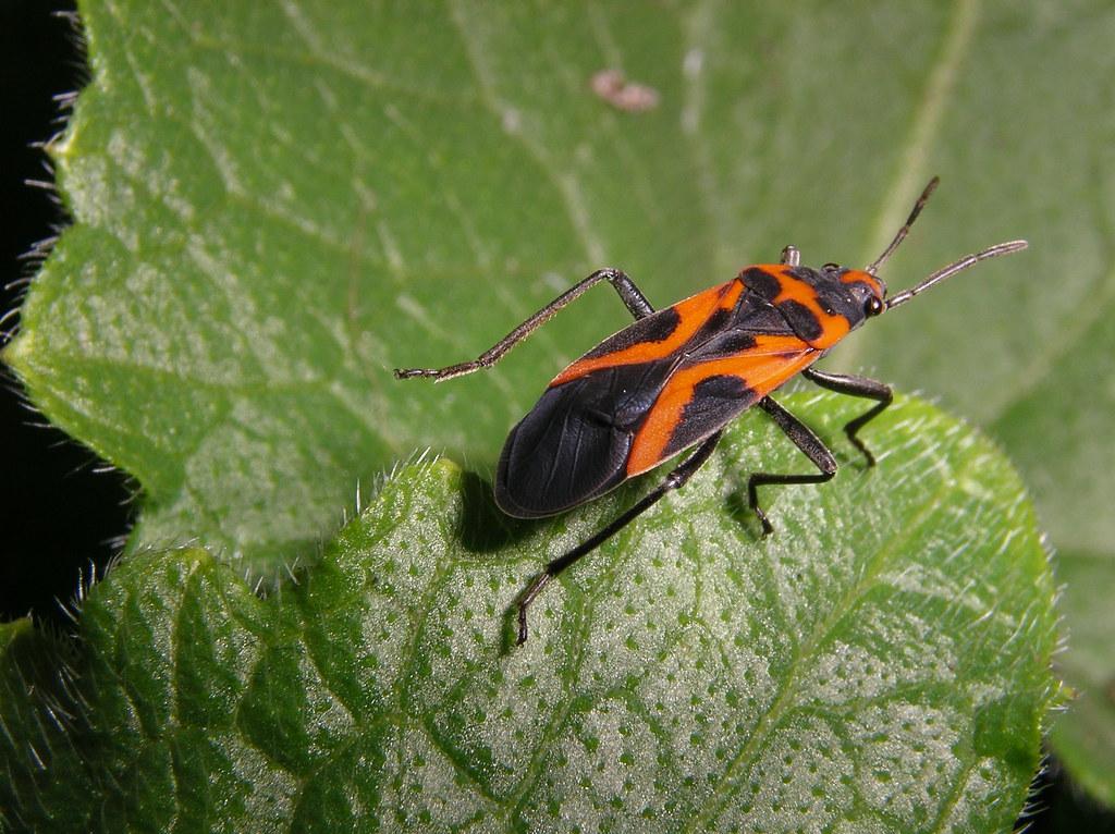 orange and black bug on a leaf macro imgp1209 orange and flickr. Black Bedroom Furniture Sets. Home Design Ideas