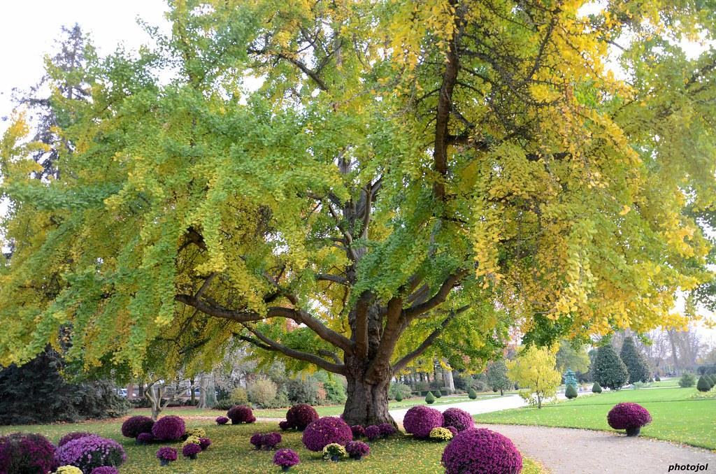 arbre remarquable ginkgo biloba surnomm aussi arbre aux flickr. Black Bedroom Furniture Sets. Home Design Ideas