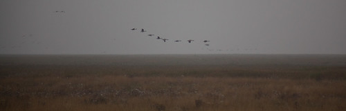 Geese, Dee Marshes, mist | by Richard Carter