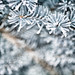 Frost on Blue Spruce