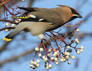 Waxwing (Bombycilla garrulus) Other Images Below. | by Sandra Standbridge.