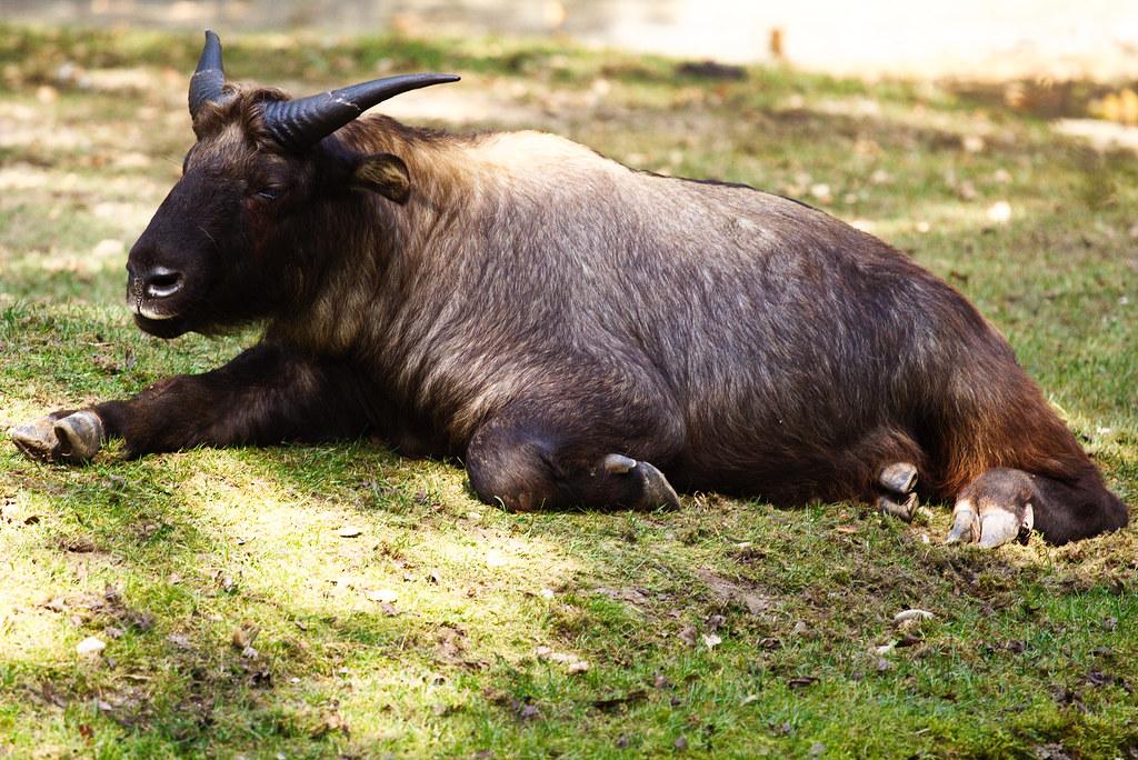 R Goats Lazy fat goat   Zoo Th...