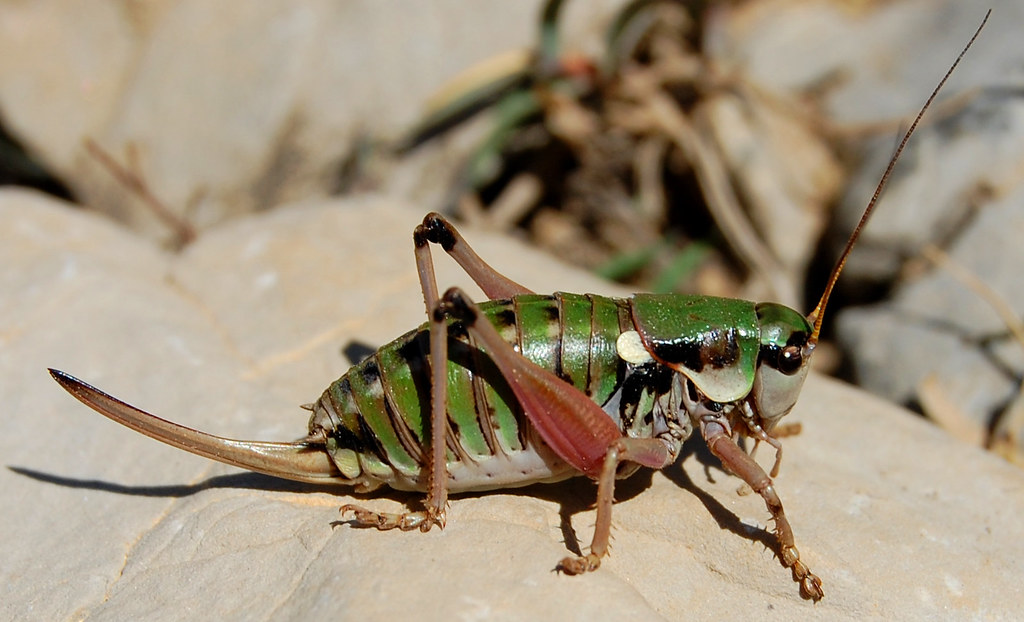 Alpine Insect