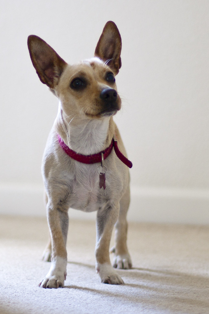 Holly - Chiweenie (Dachshund-Chihuahua mix) | This is our