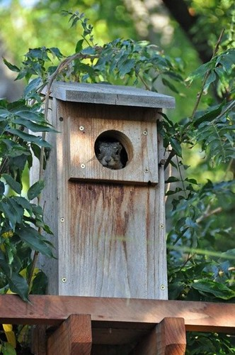 1squirrel in box steve musso wc | by Contra Costa Times