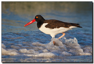 American Oystercatcher Sloshing Around in the Surf | by Fraggle Red