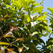lemon tree in flower