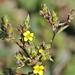 Linum strictum L.       subsp. strictum