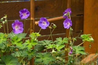 geranium rozanne  661 | by Scott Weber PDX