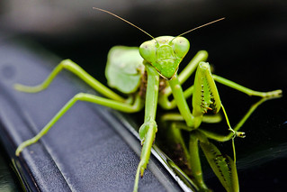 Portrait Of A Praying Mantis | by orgazmo