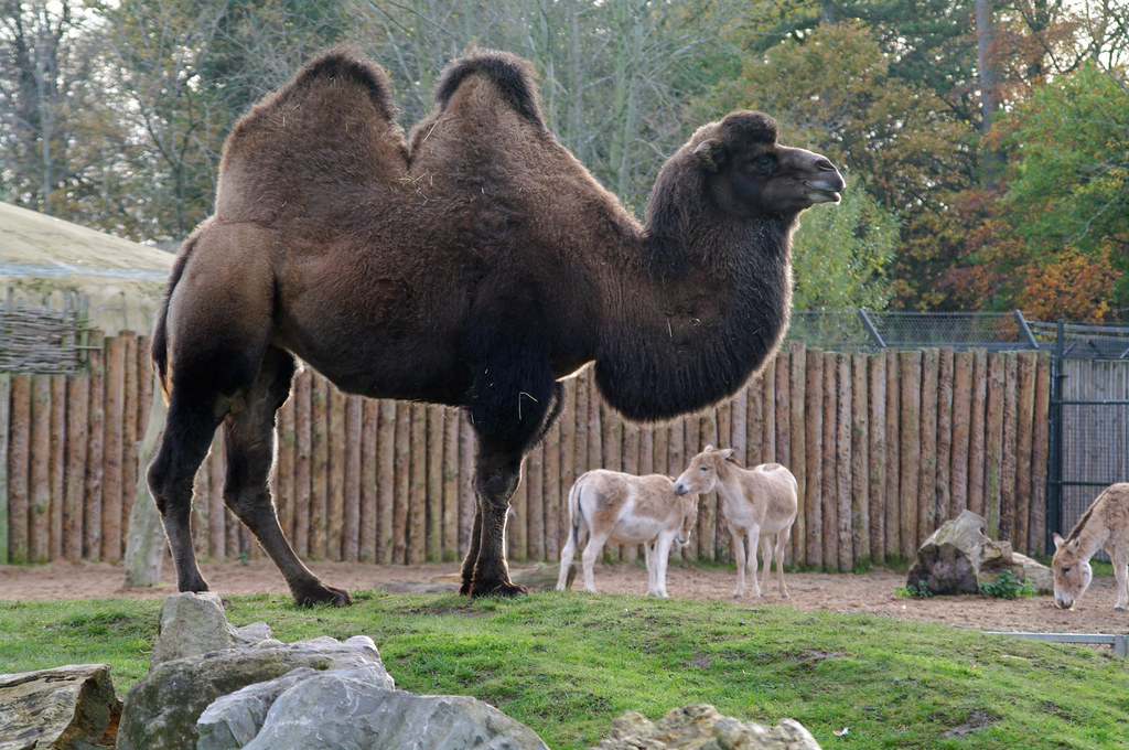 bactrian camel chester zoo 2016 - YouTube