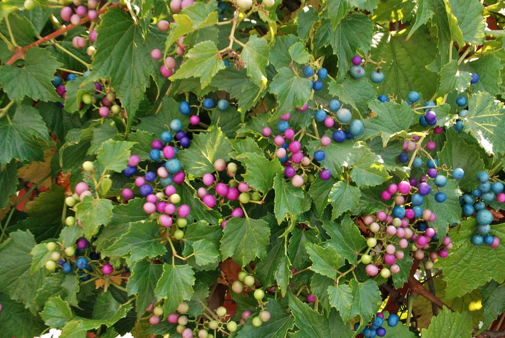 Ampelopsis brevipedunculata porcelain berry is a summer for Piante rampicanti finte