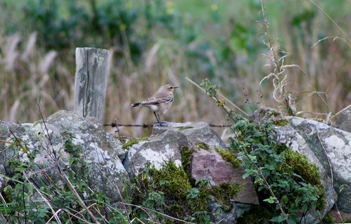 Wheatear | by brinrock