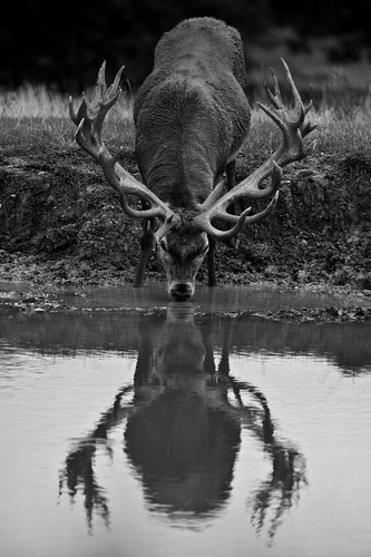 Red Deer Reflection | by Old-Man-George