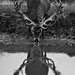 Red Deer Reflection
