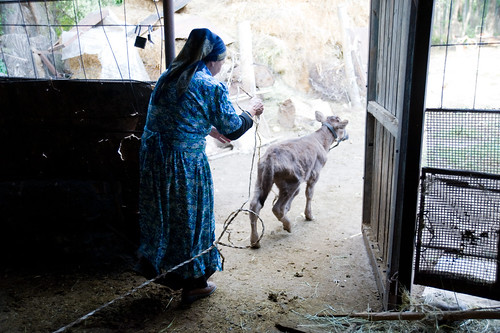 Galima Muhametarimovna leads a calf to its mother on her small farm | by UN Women Gallery
