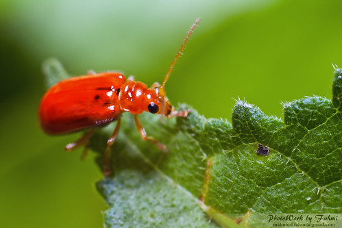 Red Bug | by Mahmud Fahmi
