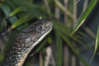 Cobra - Explore | by shottwokill