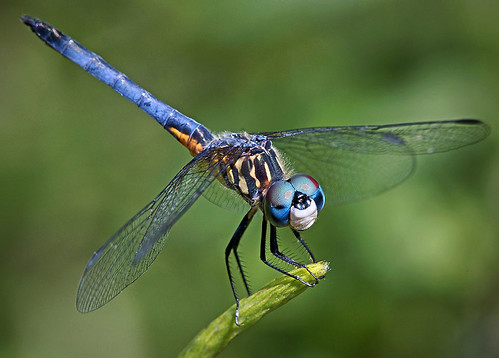 Blue Dasher Dragonfly, Fairchild Tropical Botanic Garden. | by pedro lastra