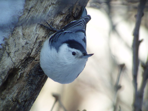White-breasted Nuthatch, Armstrong Twp., Indiana Co., PA | by Marg Higbee