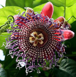passiflora | by a.rud.beth