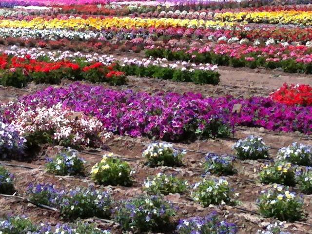 Syngenta Flowers Gilroy