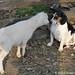 Lamb kissing Bert 1 - FarmgirlFare.com