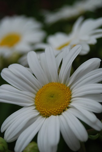 Daisy | by LoriMoonStudio