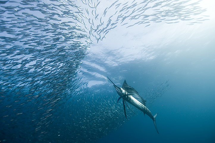 Sailfish and Merlin are plentiful for deepsea fishing enthusiasts