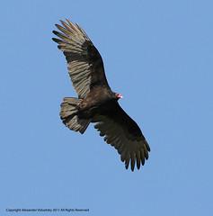 Vulture, Turkey (Cathartes aura)