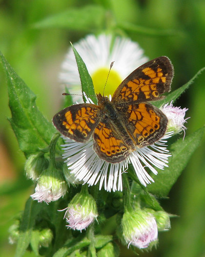 Pearl crescent on tiny fleabane | by Vicki's Nature