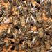 Bees Macro EOL