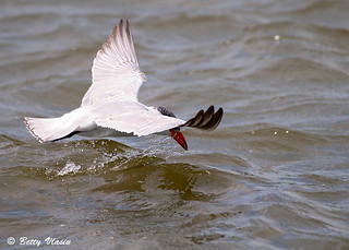 Tern Flight | by Betty Vlasiu