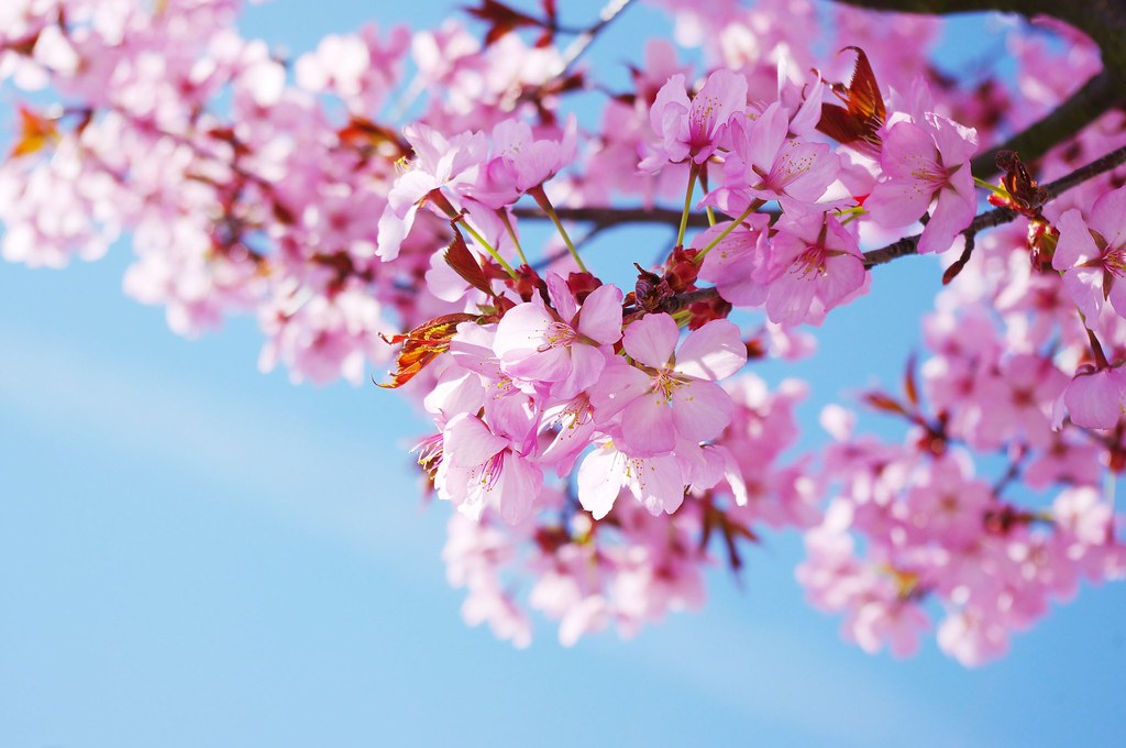 Discovering The Beauty Of Korea S Cherry Blossoms By Pvt