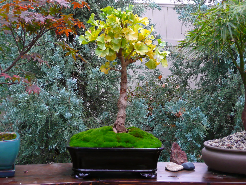 ginkgo biloba 39 mariken 39 bonsai ginkgo biloba 39 mariken. Black Bedroom Furniture Sets. Home Design Ideas