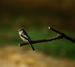 Long-tailed Tit by Chris McLoughlin